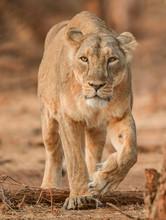 Lion Walking On Ground