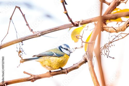 Fotografia Selective focus shot of a cute Blue Tit bird standing on a tree branch