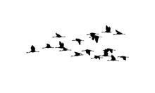Common Cranes Wedge In Flight....