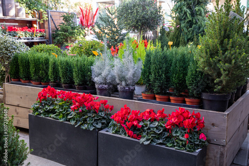 Winter seasonal potted Chamaecyparis lawsoniana Ellwoodii cypress trees, two pinus or silver crest trees, picea glauca Conica tree and flowering red cyclamen persicumin plant at greek garden shop Fototapet