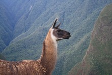 Head And Body Part Of Llama, Having Mountains In The Background