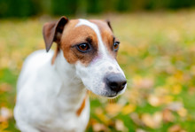 Closeup View On A Jack Russell Terrier In Outdoor