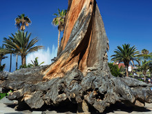 A Very Old And Huge Deadwood T...