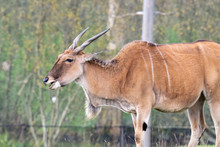 Side View Of A Common Eland (taurotragus Oryx).