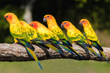 Green Yellow Red  Parrots, Sit...