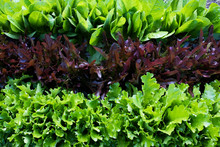 High Angle Close Up Of Rows Of Different Varieties Of Green And Red Lettuce.