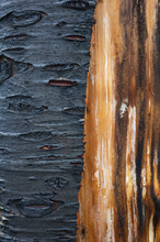 Close Up Of Fire Damaged Tree, With Black Charcoal And Untouched Bark. ,Close Up Of Fire Damaged Tree