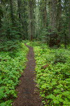 The Pacific Crest Trail Extends Through, Lush And Green Forest, Gifford Pinchot National Forest, Washington,Hiking Trail Through Lush, Green Forest, Washington