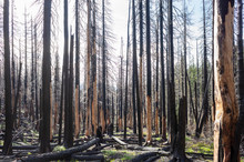 Fire Damaged Forest & Trees, A...