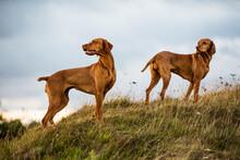 Vizsla Dogs Standing In Meadow
