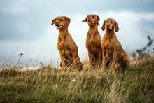 Vizsla Dogs Sitting In Meadow