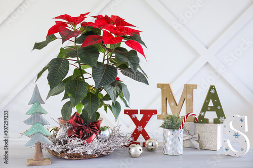 Christmas plant poinsettia with gift and decor on table near grey wall