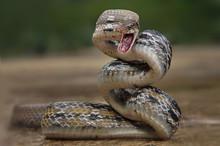 Venomous Snake Viper In Striki...