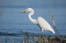 Closeup Shot Of A Great Egret ...