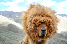 The Lion-like Mane Of A Tibeta...