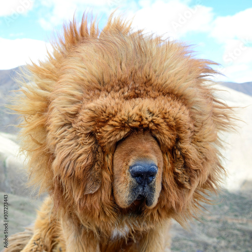A portait of a brown Tibetan Mastiff suggests the windy climate can be a blinding challenge for these loyal guard dogs of in the Tibet Autonomous Region of China Canvas Print
