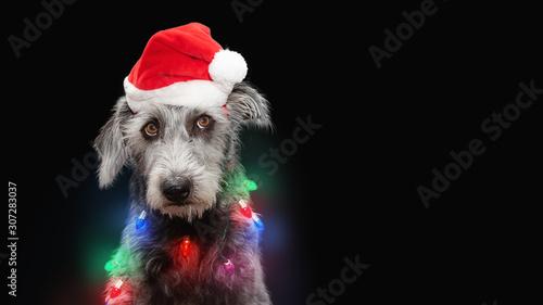 obraz dibond Funny Dog Wrapped in Christmas Lights