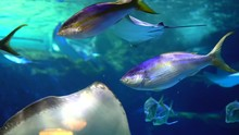 Oceanic Fish And Rays