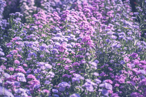 Purple margaret flower garden farm Wallpaper Mural