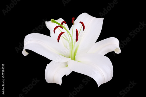 Fotomural One white lily flower with red stamens and pollen on black background isolated c