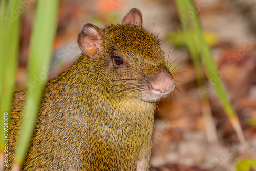 Photo Central American agouti (Dasyprocta punctata) or Sereque Close-up