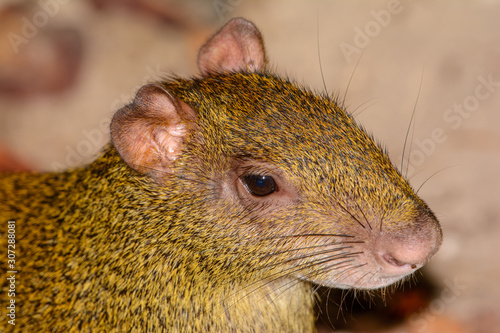 Central American agouti (Dasyprocta punctata) or Sereque Close-up Canvas Print