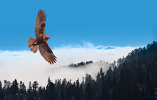 Red-tailed Hawk Flying Over Bl...