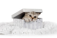Cute Little Grey Kitten Climbs...
