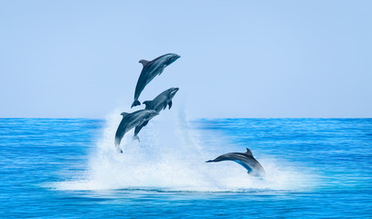 Fototapeta Zwierzęta Group of dolphins jumping on the water - Beautiful seascape and blue sky