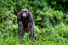 Adult Male Of Bonobo On The Gr...