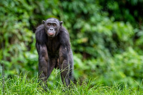 Adult male of Bonobo on the Green natural background in natural habitat Wallpaper Mural