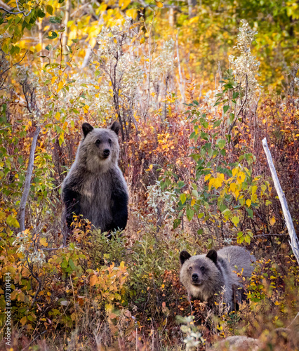 2 bear cubs in the woods during fall season Wall mural