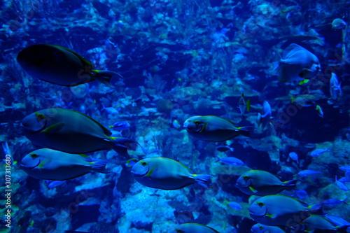 Crown fish finding nemo in blue water Fototapet