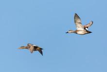 Pair Of Gadwall Ducks (anas St...