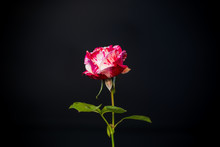 Two-tone White With Red Rose O...