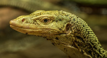 Detailed Monitor Lizard Portra...