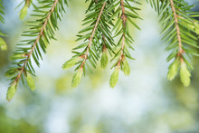 Fir-tree With New Shoots Background