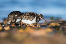 Ruddy Turnstone Birds Feeding ...