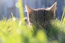 Cat Sleeping In Grass