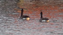 Canada Geese Swimming By Dock