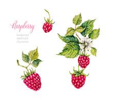 Raspberry. Berries. Watercolor Botanical Hand Drawn Illustration.