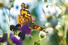 Macro Di Una Farfalla Vanessa Del Cardo