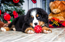 Christmas Puppy On New Year's Background, Bernese Mountain Dog