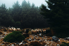 Flock Of Sheeps In The Forest