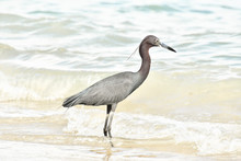 Great Blue Heron On Beach, Photo As A Background