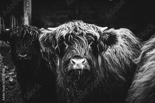 Fotografie, Obraz Black and white picture of Scottish Highland Cow in field looking at the camera, Ireland, England, suffolk