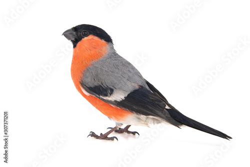 Eurasian Bullfinch, male, Pyrrhula pyrrhula isolated on white background Canvas Print