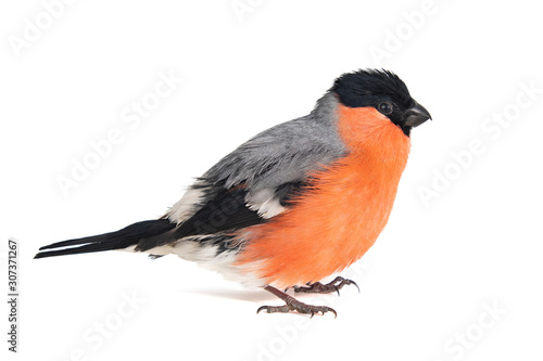 Fototapeta Eurasian Bullfinch, male, Pyrrhula pyrrhula isolated on white background