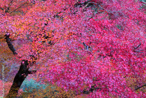 Japanese red maple with autumn season