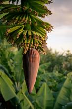 Banana Flower During Sunset